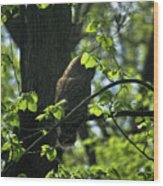 The Shy Owl Wood Print