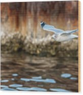 The Soaring Gull Wood Print