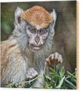 The Stare A Baby Patas Monkey  Wood Print