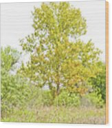 The Sycamore Wood Print