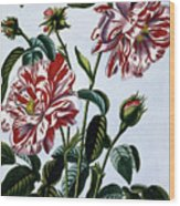 The Variegated Rose Of England Wood Print