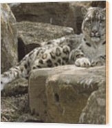 The Watchful Stare Of A Snow Leopard Wood Print
