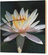 The Water Lily And The Dragonfly Wood Print by Sabrina L Ryan
