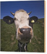The Wideangled Cow  Wood Print