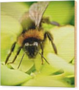 Thirsty Bumble Bee. Wood Print
