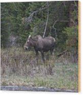 Thirsty Cow Moose Wood Print