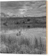 This Is Alberta 9b - Bucks Having A Swim Wood Print