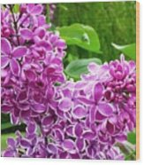 This Lilac Has Flowers With A White Edging.1 Wood Print