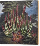 Thornton: Stapelia Wood Print