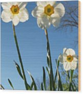Three Backlit Jonquils From Below Wood Print