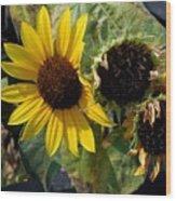 Three Beautiful Sunflower Wood Print