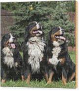 Three Bernese Mountain Dog Portrait Wood Print