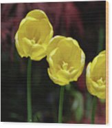 Three Blooming Yellow Tulips Of Different Heights Wood Print