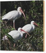 Three Buddies - White Ibis Wood Print