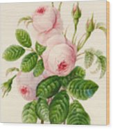 Three Centifolia Roses With Buds Wood Print