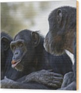 Three Chimpanzees Socializing  Wood Print