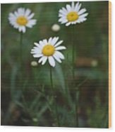 Three Daisy's Wood Print