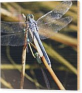 Three Dragonflies On One Reed Wood Print
