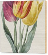 Three Lily Tulips  Wood Print