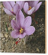 Three Lovely Saffron Crocus Blossoms Wood Print