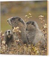 Three Marmots 2 Wood Print
