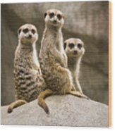 Three Meerkats Wood Print
