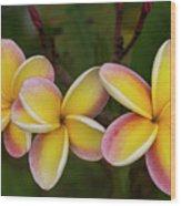 Three Pink And Yellow Plumeria Flowers - Hawaii Wood Print