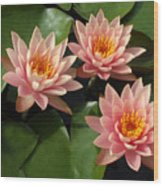Three Pink Water Lilies Wood Print