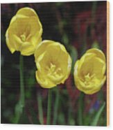 Three Pretty Blooming Yellow Tulips In A Garden Wood Print