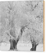 Three Snow Frosted Trees In Black And White Wood Print