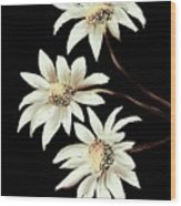 Three Spring Daisies Wood Print