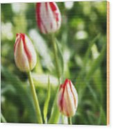 Three Striped Tulips Wood Print