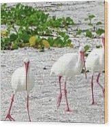 Three White Ibis Walking On The Beach Wood Print