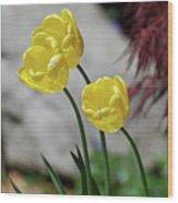 Three Yellow Garden Tulips Flowering In Spring Wood Print