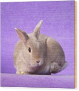 Thump Gorgeous Dwarf Rabbit Stamps His Foot  Wood Print