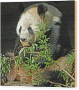 Tian Tian Hanging Out In Panda Man Cave Wood Print