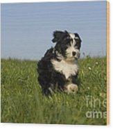Tibetan Terrier Puppy Wood Print