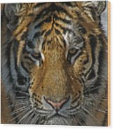 Tiger 5 Posterized Wood Print
