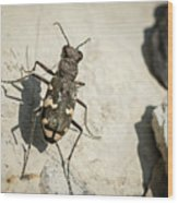 Tiger Beetle Looking For Prey On A Stone Wood Print