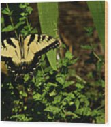 Tiger Butterfly Posing Wood Print