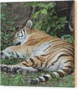 Tiger- Lincoln Park Zoo Wood Print