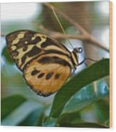 Tiger Longwing Butterfly I Wood Print