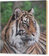 Sumatran Tigress Portrait  Wood Print
