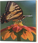 Tiger Swallowtail - 3 Wood Print