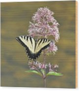 Tiger Swallowtail Butterfly On Common Milkweed 1 Wood Print