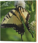 Tiger Swallowtail On Button Bush Wood Print