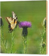 Tiger Swallowtail On Thistle Wood Print