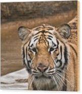 Tiger Wading Stream Wood Print