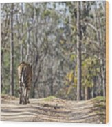 Tigress Walking Along A Track In Sal Forest Pench Tiger Reserve India Wood Print