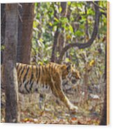 Tigress Walking Through Sal Forest In Pench Tiger Reserve  India Wood Print